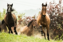 caballos-en-manada-3-705x503