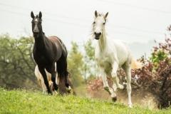 caballos-en-manada-4-705x462